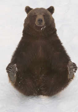 Eurasian Brown Bear with Cold Feet Notecard