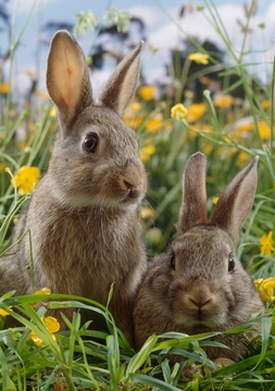 European Rabbits amid Buttercups Notecard
