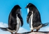 Gentoo Penguin Pair Notecard