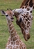 Giraffe Mother Nuzzling Calf Notecard