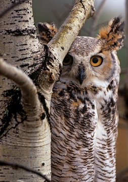 Great Horned Owl Notecard