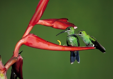 Green-crowned Brilliant Hummingbirds Notecard