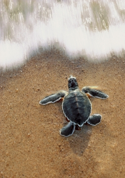Green Sea Turtle Hatchling Notecard
