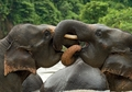 Indonesian Asian Elephants at Play Notecard