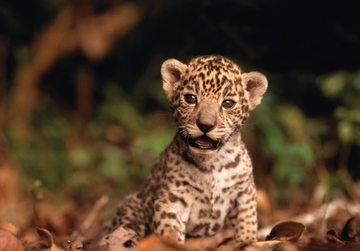 Jaguar Cub Notecard