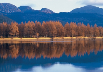 Japanese Larch Trees Reflected in Water Notecard