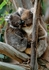 Koalas in Tree Notecard