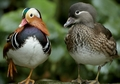 Mandarin Duck Duo Notecard