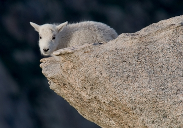 Mountain Goat Kid Notecard