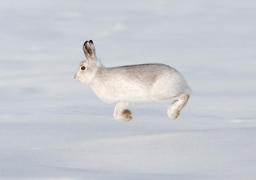Mountain Hare Holiday Cards