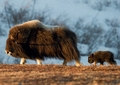 Musk Ox Mother with Newborn Calf Notecard