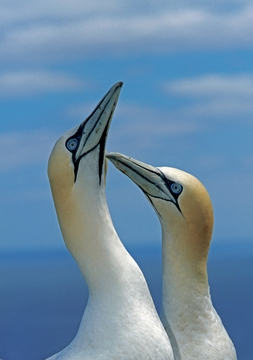Northern Gannets Notecard
