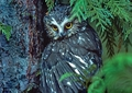 Northern Saw-whet Owl Notecard