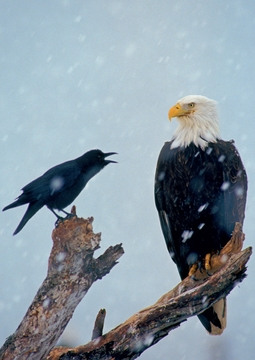 Northwest Crow Scolding Bald Eagle Notecard