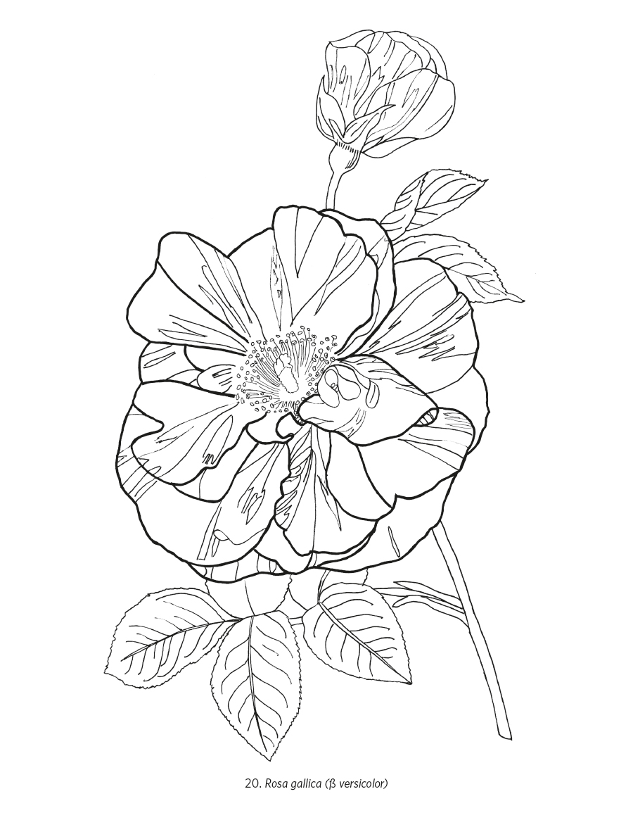 Orchids Roses Coloring Book