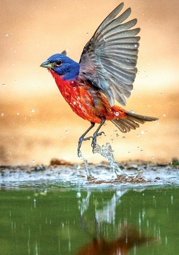 Painted Bunting Notecard