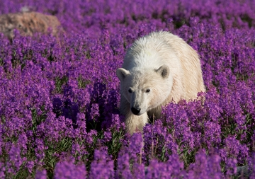 Polar Bear in a Field of Fireweed Notecard