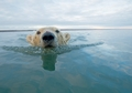 Polar Bear Swimming Notecard