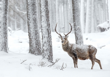 Red Deer Holiday Cards
