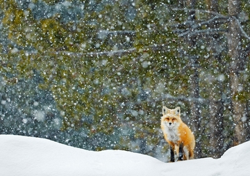 Red Fox Standing in Snowfall
