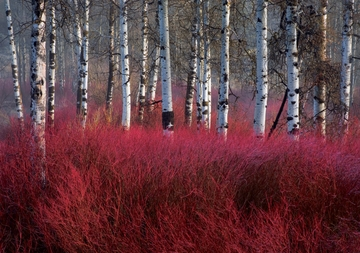 Red Willow Sea Notecard