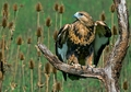 Rough-legged Hawk Notecard
