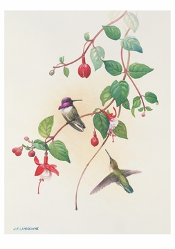 Costa's Hummingbirds Notecard