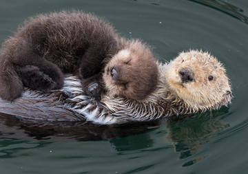 Sea Otter Mother and Newborn Notecard
