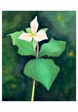 Trillium, North Cascades Birthday Card