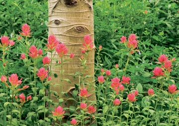 Aspen Trunk and Indian Paintbrush Notecard