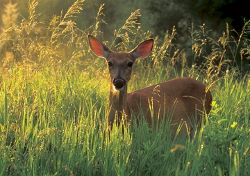 White-tailed Deer Doe Notecard