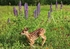 White-tailed Deer Fawn and Wild Lupine Notecard