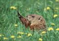 Woodchuck Notecard