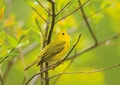 Yellow Warbler Notecard