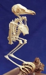 Barn Owl Skeleton