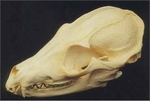 Bat-eared Fox Skull