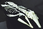 Beluga-Whale Skeleton DISARTICULATED