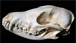 Black-Backed Jackal Skull