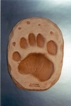 Black Bear Footprint