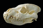 Brown Hyena Skull