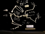 California Condor Skeleton Disarticulated