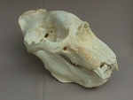 California Elephant Seal Skull Male