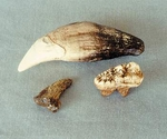 Cave Bear Canine Molar Claw
