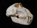 Celebes Crested Macaque Skull