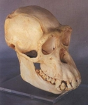 Chimpanzee Skull, Female