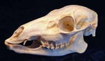 Chinese Water Deer Skull (Female)