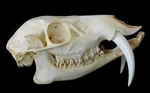 Chinese Water Deer Skull (Male)