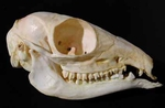 Asiatic Mouse Deer Skull
