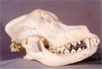 Domestic Dog Skull