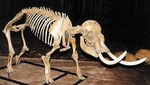 Dwarf Mammoth Skeleton